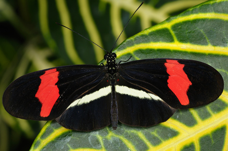Red Postman Heliconius Erato butterfly on Sanchezia nobilis tropical plant