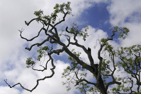 Kukui tree in the Sacred grove of Kalanikaula Molokai