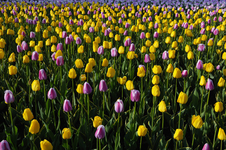 Bed of sidelit yellow Garant and purple white Ollioules Dutch Tulips LANG_EVOIMAGES