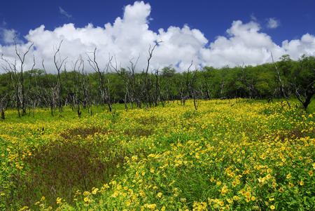 Meadow of yellow Wedelia flowers and dead tree trunks Molokai LANG_EVOIMAGES
