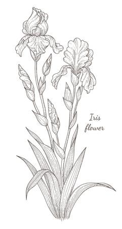 Monochrome Iris flower isolated on white background. Vintage style botanical illustration for design and decoration