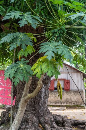 Tree in a village in Lokobe nature strict reserve in Madagascar, Nosy Be, Africa