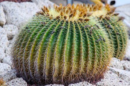 Barrel cactus at canary island tenerife Archivio Fotografico