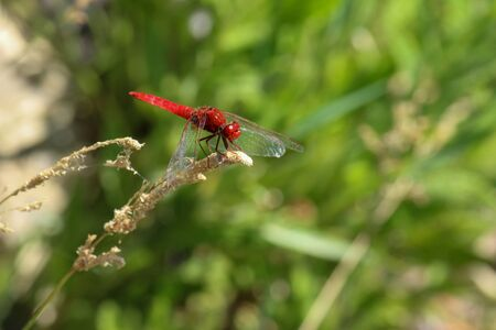 Close-up of red dragonfly sitting on a blade of grass near a pond at greek island rhodos Imagens