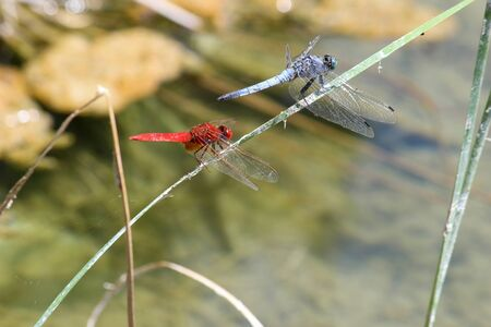Close-up of a blue and red  dragonfly sitting together on a blade of grass near a pond at greek island rhodos