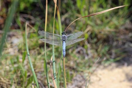 Close-up of blue dragonfly sitting on a blade of grass near a pond at greek island rhodos