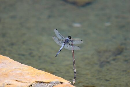 Close-up of blue dragonfly sitting on a nail near a pond at greek island rhodos Imagens