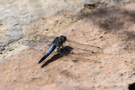 Close-up of blue dragonfly sitting on the ground near a pond at greek island rhodos