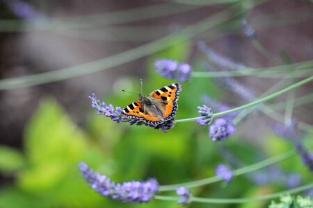 Small tortoiseshell (aglais urticae) butterfly taking nectar from lavender blossom Фото со стока
