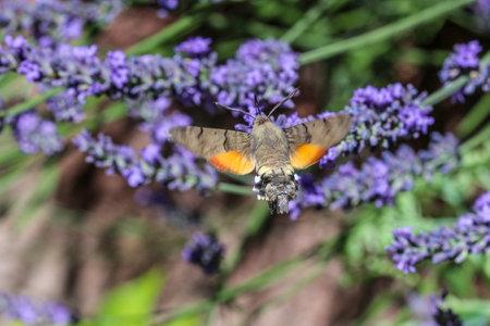 Flying kolibri hawk moth, hummingbird hawk moth (macroglossum stellatarum) taking nectar from lavender blossom Foto de archivo - 133515993