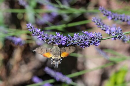 Flying kolibri hawk moth, hummingbird hawk moth (macroglossum stellatarum) taking nectar from lavender blossom Foto de archivo - 133515994