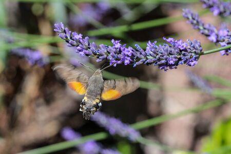 Flying kolibri hawk moth, hummingbird hawk moth (macroglossum stellatarum) taking nectar from lavender blossom Foto de archivo - 133515996