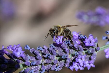 Bee collect nectar from a lavender flower