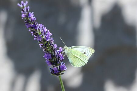 Cabbage white butterfly (Pieris rapae) on a lavender flowered Foto de archivo