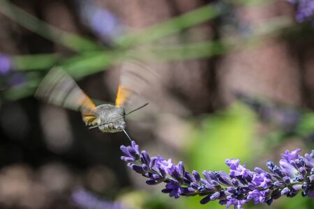 Flying kolibri hawk moth, hummingbird hawk moth (macroglossum stellatarum) taking nectar from lavender blossom Foto de archivo - 133516051