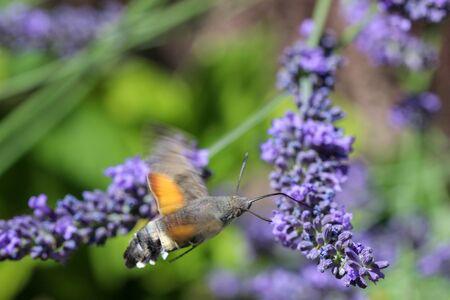 Flying kolibri hawk moth, hummingbird hawk moth (macroglossum stellatarum) taking nectar from lavender blossom Foto de archivo - 133516052