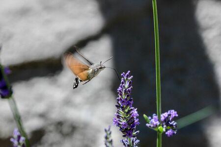 Flying kolibri hawk moth, hummingbird hawk moth (macroglossum stellatarum) taking nectar from lavender blossom Foto de archivo - 133516053