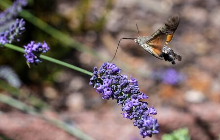 Flying kolibri hawk moth, hummingbird hawk moth (macroglossum stellatarum) taking nectar from lavender blossom Foto de archivo - 133516055