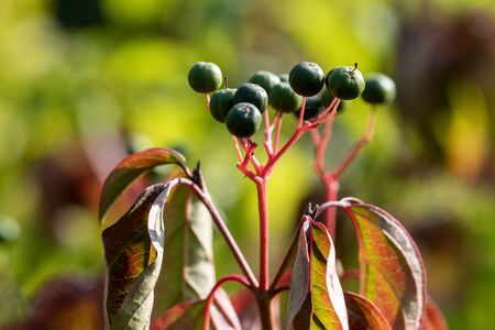 Close-up of plant with green berries and colored leaves