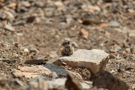 Chipmunk sitting on a stone between Betancuria and Pajara  on Fuerteventura, Spain Stok Fotoğraf