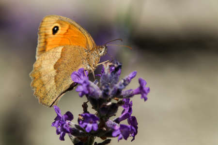 Meadow brown butterfly, Maniola jurtina, on lavender blossom Фото со стока