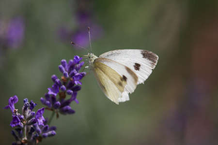 Cabbage White Butterfly, Pieris rapae sitting on purple lavender blossom Фото со стока