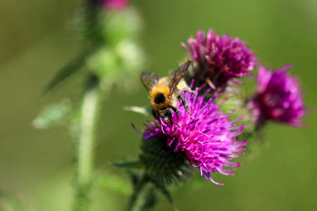 Bee takes nectar from purple thistle blossom 免版税图像