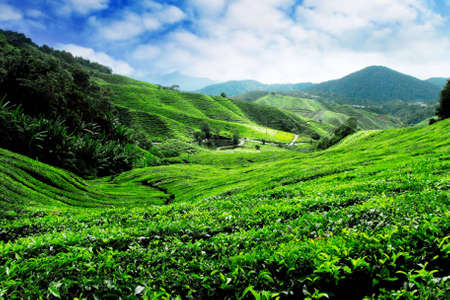 Cameron Highlands Tea Plantation Malaysia Stock Photo - 7017754