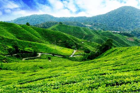 Cameron Highlands Tea Plantation Malaysia photo