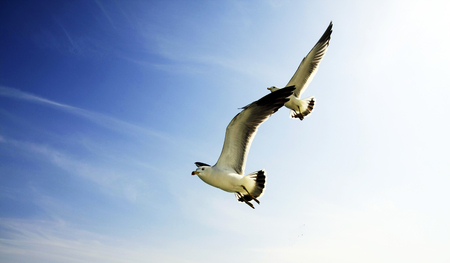 The two gulls are freely and symmetrically fluttering.