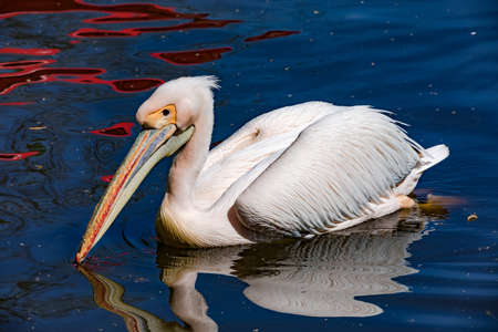A white pelican swims relaxed on the water