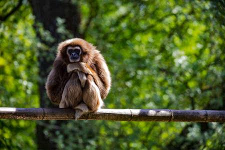 Capuchin monkey posing as the thinker sitting on a branch