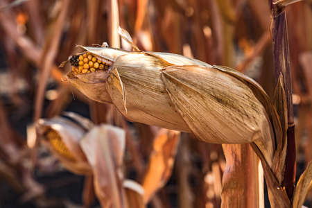 A corn stalk in autumn is waiting to be harvested after the dry summer