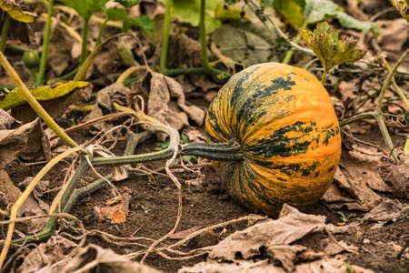 A decorative styrian oil pumpkin in a dry Bavarian garden in Germany