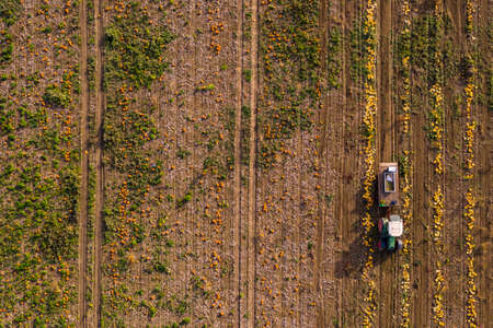 Many pumpkins and hokkaidos on a pumpkin field are harvested by a tractor photographed from the air