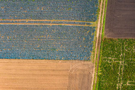 Distinctive tractor tracks in a green and a blue cabbage field in Germany from a birds eye view Standard-Bild