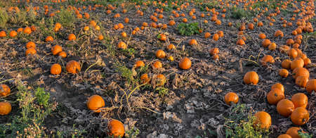 A field of orange Hokkaido pumpkins await harvest, Halloween and Thanksgiving in October Standard-Bild