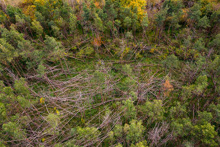 Dead spruce trees with brown branches caused by storms tree breaks in a forest in Germany Standard-Bild