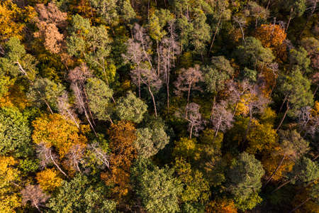 Aerial view of a forest that is affected by drought and forest dieback in the German coniferous forest