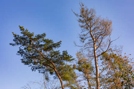 Striking trees against a blue sky in a mixed forest in autumn shows signs of disease from drought and climate change Standard-Bild