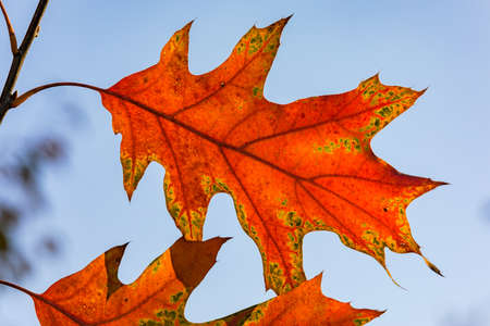 Backlit photo of an autumnal leaf with distinctive colors and shapes