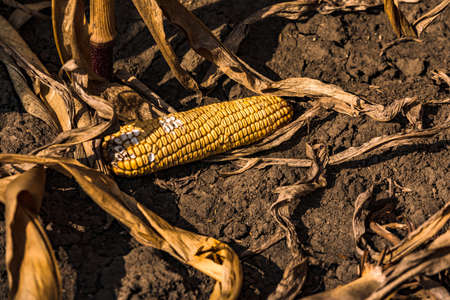 A damaged corn cob lies on the dry ground after the corn harvest in autumn