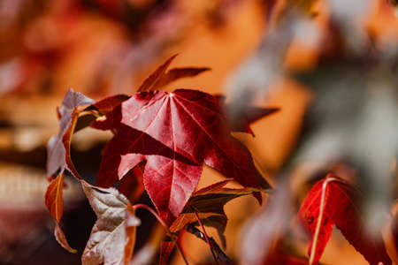 A red maple leaf in autumn in bright sunlight