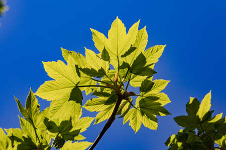 Green leaves bursting with strength in the backlight in spring Standard-Bild