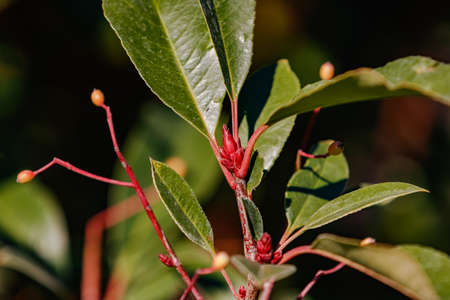 A glowing red bud of a young loquat in the sunlight Standard-Bild