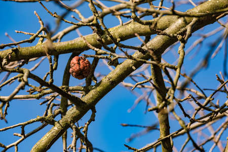 A single shriveled apple on the tree on a clear sunny winter day Standard-Bild