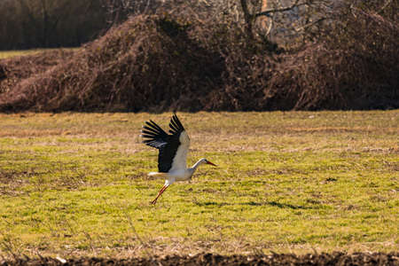 A stork takes off for flight from a field in spring Standard-Bild