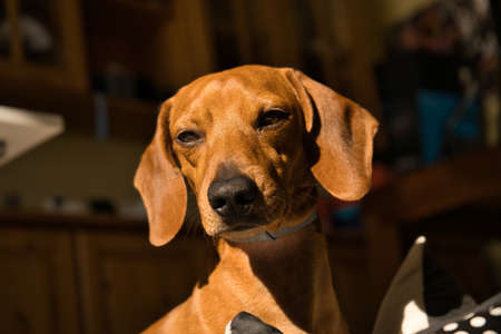 Beautiful purebred dachshund dog, also called teckel, Viennese dog or sausage dog, on a dog bed looking at the camera. Dog
