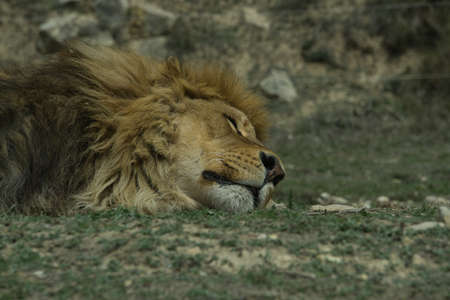 lions resting in the grass in a natural park and animal reserve, located in the Sierra de Aitana, Alicante, Spain. portrait