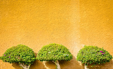 Three plants, nicely maintained and trimmed grown on an ochre wall for decoration
